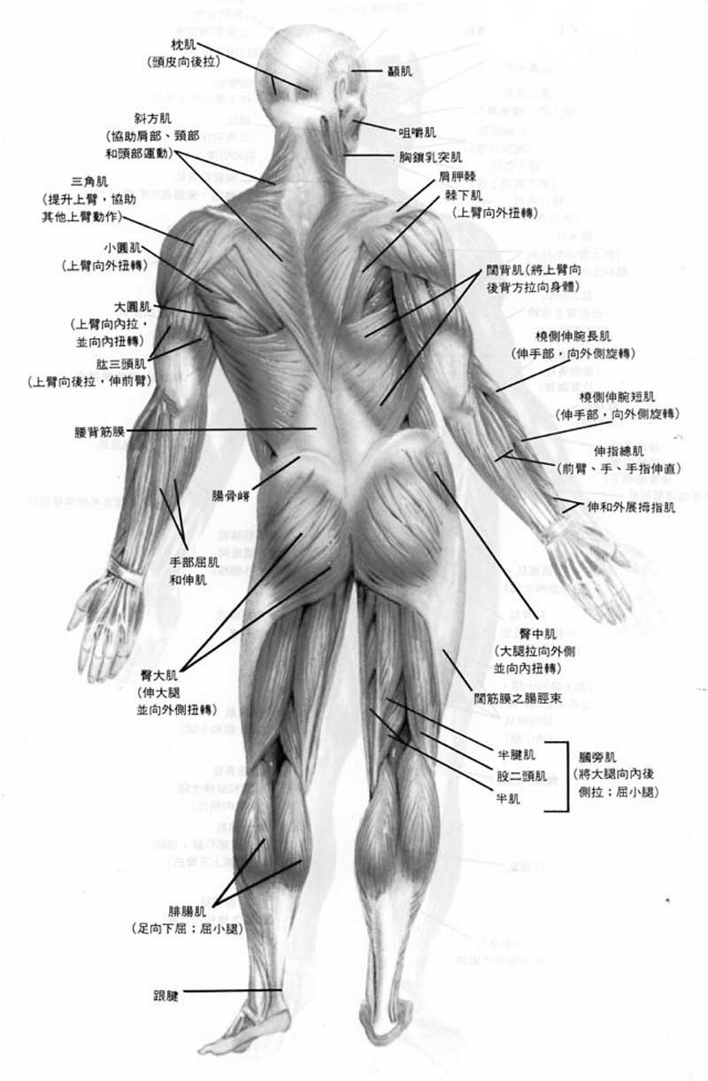 人体肌肉分布图_其实人体是有自调节能力的.   上一个背面肌肉图.